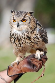 Free Bengal Owl Royalty Free Stock Images - 4232789