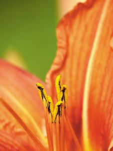 Free Pestles And Stamens. Stock Images - 4232914