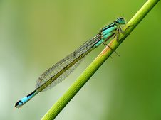Free Blue Dragonfly Stock Photos - 4233413