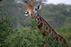 Free Giraffe In Africa Stock Images - 4233914