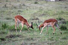 Free Battling Gazelle S In Africa Royalty Free Stock Photo - 4233965