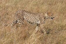 Free Cheetah In Masai Mara Kenya Stock Photos - 4234363