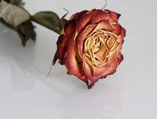 Free Close-up Of Faded Rose With Reflection Royalty Free Stock Images - 4235679