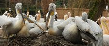 Free Pelicans Royalty Free Stock Photo - 4235955