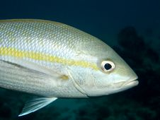 Yellowtail Snapper Close-up Stock Photography