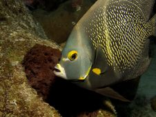 French Angelfish Royalty Free Stock Photography