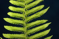 Free Green Fern Royalty Free Stock Photo - 4237275