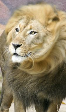 Free Lion S Head Royalty Free Stock Images - 4237619
