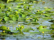 Free Water Lilies Stock Image - 4238271