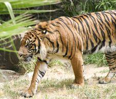 Free Tiger Stalking Royalty Free Stock Image - 4238296