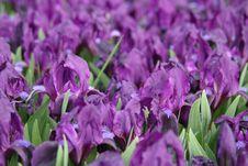 Free Spring Blossom. Royalty Free Stock Photo - 4238325