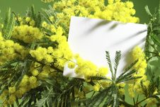 Free Mimosa Flowers With Blank Card Stock Photo - 4238360