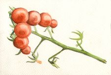Free Tomato Stock Photography - 4238422