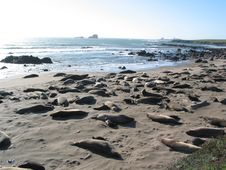 Free Elephant Seals Royalty Free Stock Images - 4238579