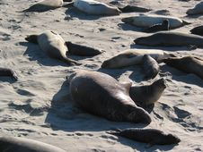 Free Elephant Seals Royalty Free Stock Images - 4238619