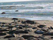 Free Elephant Seals Royalty Free Stock Photo - 4238625