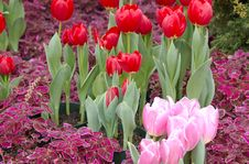Free Bright Red Tulips Stock Images - 4238644