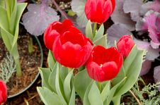 Free Bright Red Tulips Royalty Free Stock Image - 4238646