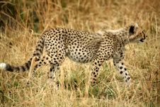Free Cheetah Cub Walking Through The Grass Royalty Free Stock Images - 4239089