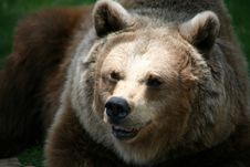 Free Brown Bear Royalty Free Stock Photos - 4239308