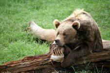 Free Brown Bear Resting Royalty Free Stock Photos - 4239408