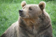 Free Brown Bear Sniffing Royalty Free Stock Photography - 4239607