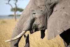 Free Elephant Eating Grass Royalty Free Stock Photo - 4239745