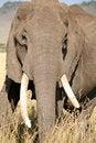 Free Angry Elephant Royalty Free Stock Photo - 4240055