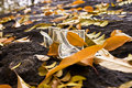 Free Fallen Leaves Royalty Free Stock Image - 4241896