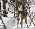 Free White-tailed Deer Stock Photo - 4243370