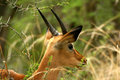 Free Impala Head Stock Photography - 4249262