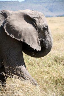 Free Elephant Takes One Step Forward Royalty Free Stock Photos - 4240058