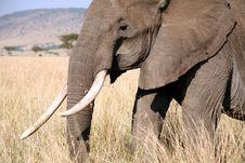Free Elephant Walks Through The Grass Stock Photo - 4240090