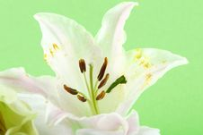Free Lily Royalty Free Stock Images - 4240319