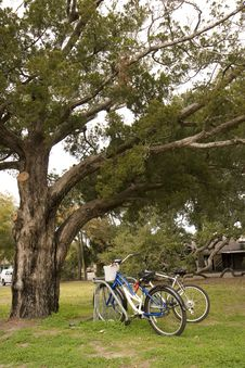 Free Bikes Under Oak Tree Royalty Free Stock Images - 4240579