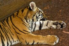 Free Tiger Cub Lying Down Royalty Free Stock Photography - 4241357
