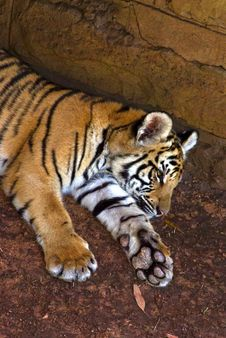 Free Tiger Whelp Lays In Shadows Stock Photography - 4241362