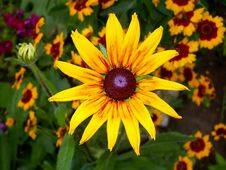 Free Yellow Rudbeckia And Coreopsis Royalty Free Stock Image - 4242566