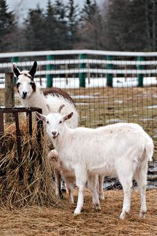 Free Rural Farm With Goat And Llama Stock Photos - 4242783
