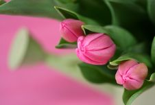 Free Pink Tulips Royalty Free Stock Images - 4243079