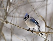 Free Blue Jay Stock Images - 4243354