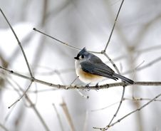 Free Tufted Titmouse Royalty Free Stock Images - 4243369