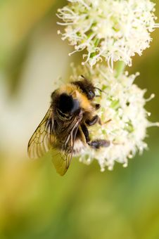 Free Bumblebee On Flower Royalty Free Stock Photos - 4243378