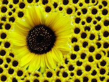 Free Sunflower - Mother With Children Stock Images - 4245604