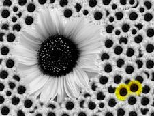 Free Sunflower - Mother With Children Stock Images - 4245694