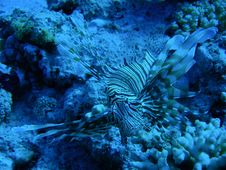 Free Lionfish Stock Photography - 4246122