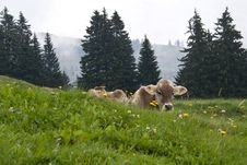 Swiss Cow On The Meadow Stock Images
