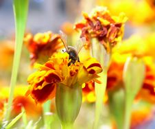 Free Bee Looking For Pollen Royalty Free Stock Photography - 4246177
