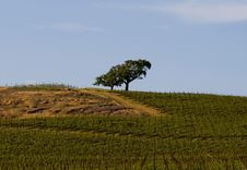 Lonely Tree In The Middle Of Napa Valley Vineyard Stock Photography