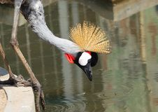Free Crowned Crane Stock Photos - 4247243
